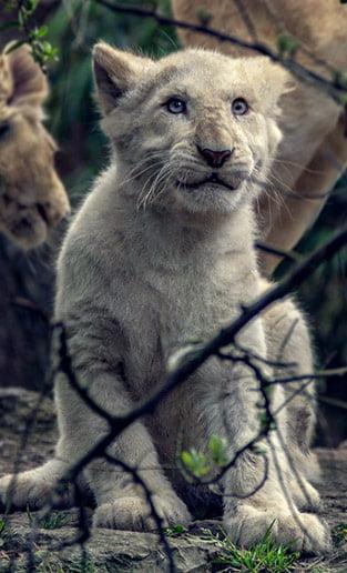 photographie lionceau